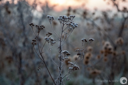 frozen yarrow